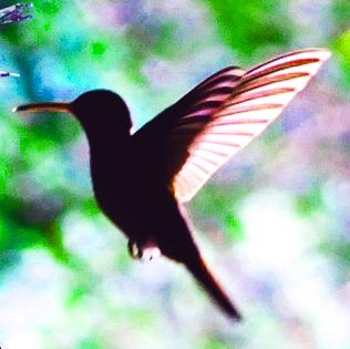 Kolibri_Ausschnitt_klein_farbe